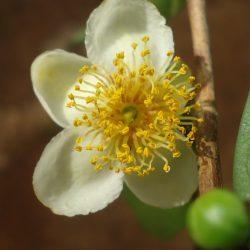 Thee (Camellia sinensis). Foto Reji Jacob