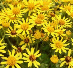 AFBEELDING 2 | Jacobskruiskruid (Jacobaea vulgaris). Foto Gouwenaar