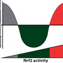 Nrf2 activiteit
