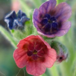 Veldhondstong (Cynoglossum officinale). Foto Forna