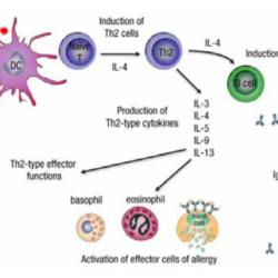 FIGUUR 1. ALLERGISCHE RESPONS BIJ ALLERGISCHE RHINITIS | Dendritische cellen in het neusslijmvlies presenteren allergenen aan naïeve T-cellen (T-cellen die nog niet eerder zijn blootgesteld aan allergenen). Deze T-cellen veranderen onder invloed van IL-4 in Th 2-cellen. Vervolgens produceren Th 2-cellen cytokinen (IL-3, IL-4, IL-13, e.a.) die B-cellen aanzetten tot de productie van IgE dat bindt aan effectorcellen (basofielen en eosinofielen en mestcellen) waardoor deze gesensibiliseerd worden. Activering van effectorcellen door TTh 2-cytokinen leidt tot de afgifte van histamine en leukotriënen en veroorzaken overgevoeligheid voor het allergeen.